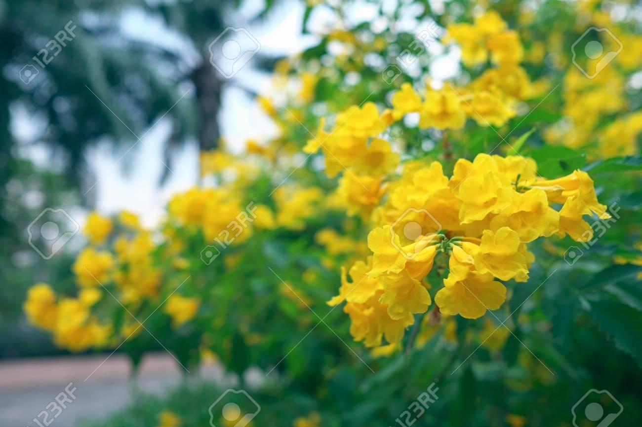 Yellow elder trumpetbush trumpetflower yellow trumpet flower yellow elder trumpetbush trumpetflower yellow trumpet flower yellow trumpetbush stock mightylinksfo