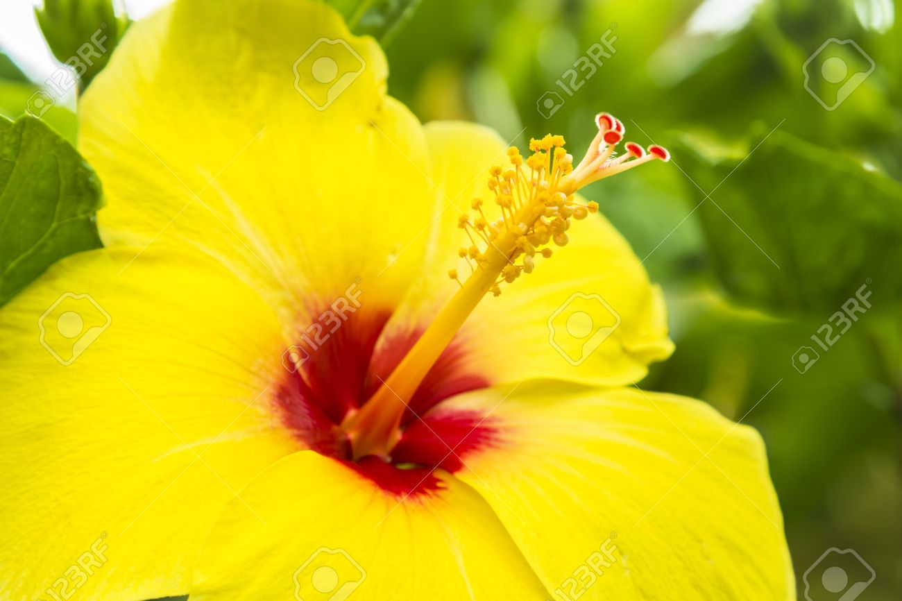 A Giant Yellow Hibiscus The Hawaii State Flower Stock Photo Picture And Royalty Free Image Image 21189309