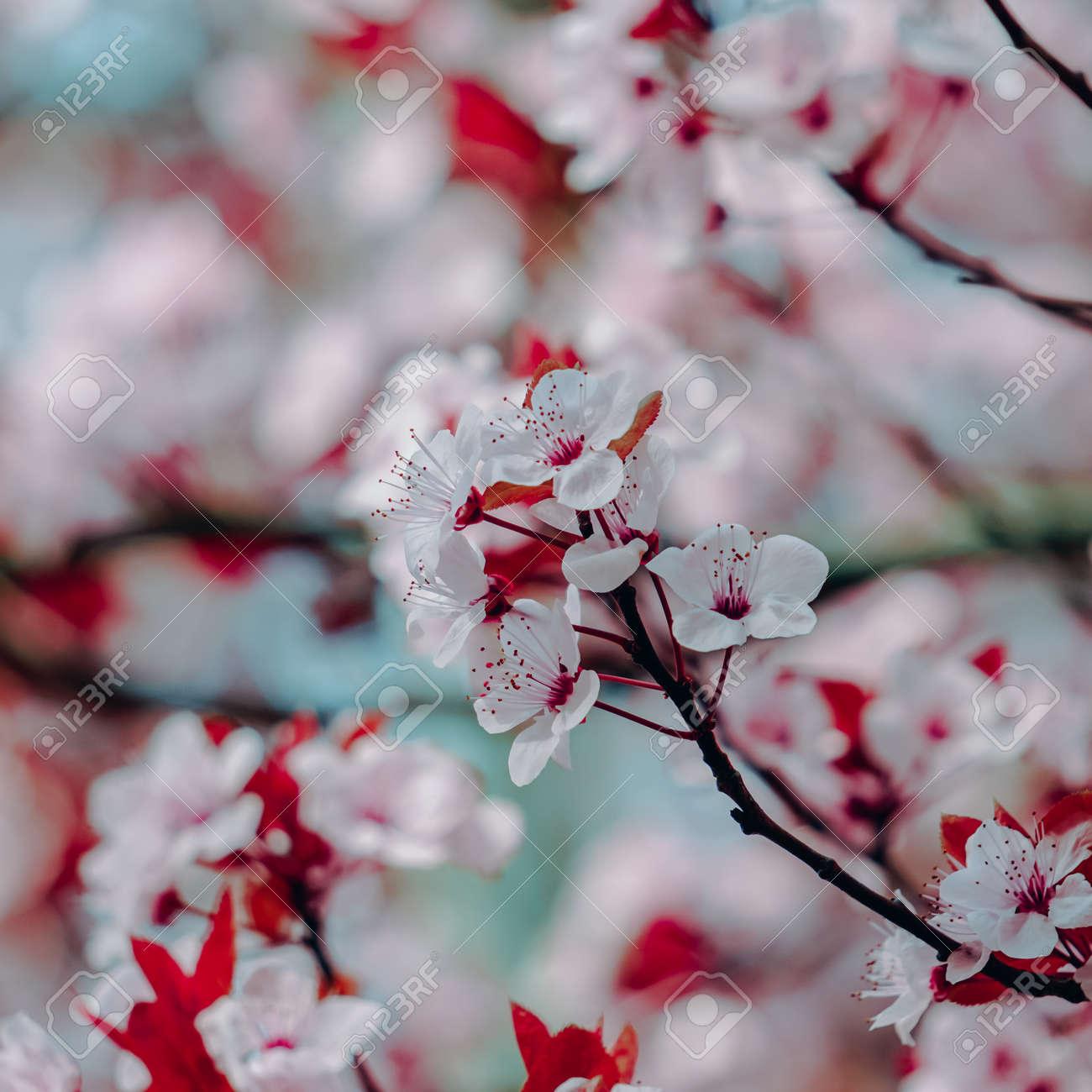 beautiful cherry blossom in spring season, sakura flower - 166563357
