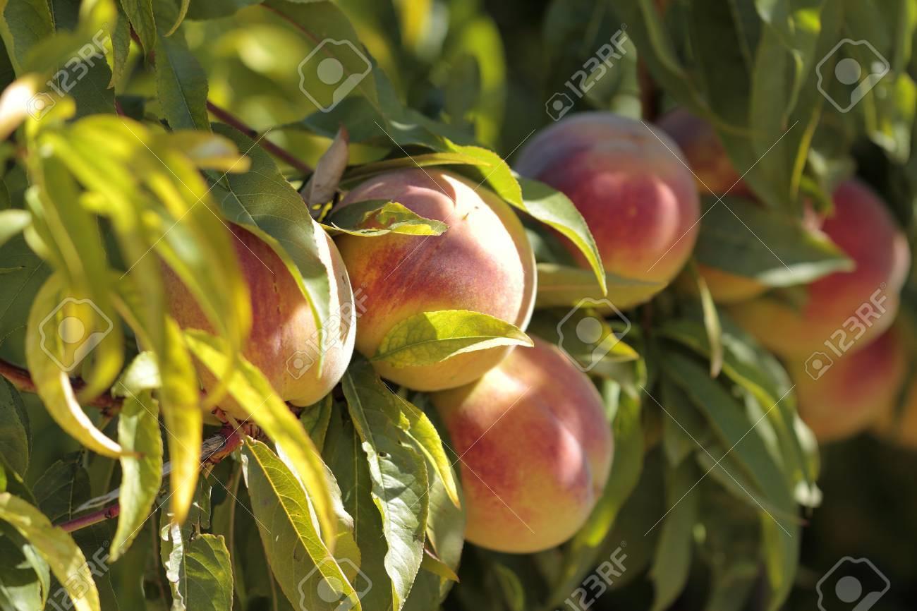 Aprikosenbaum Mit Früchten Im Garten Lizenzfreie Fotos Bilder Und