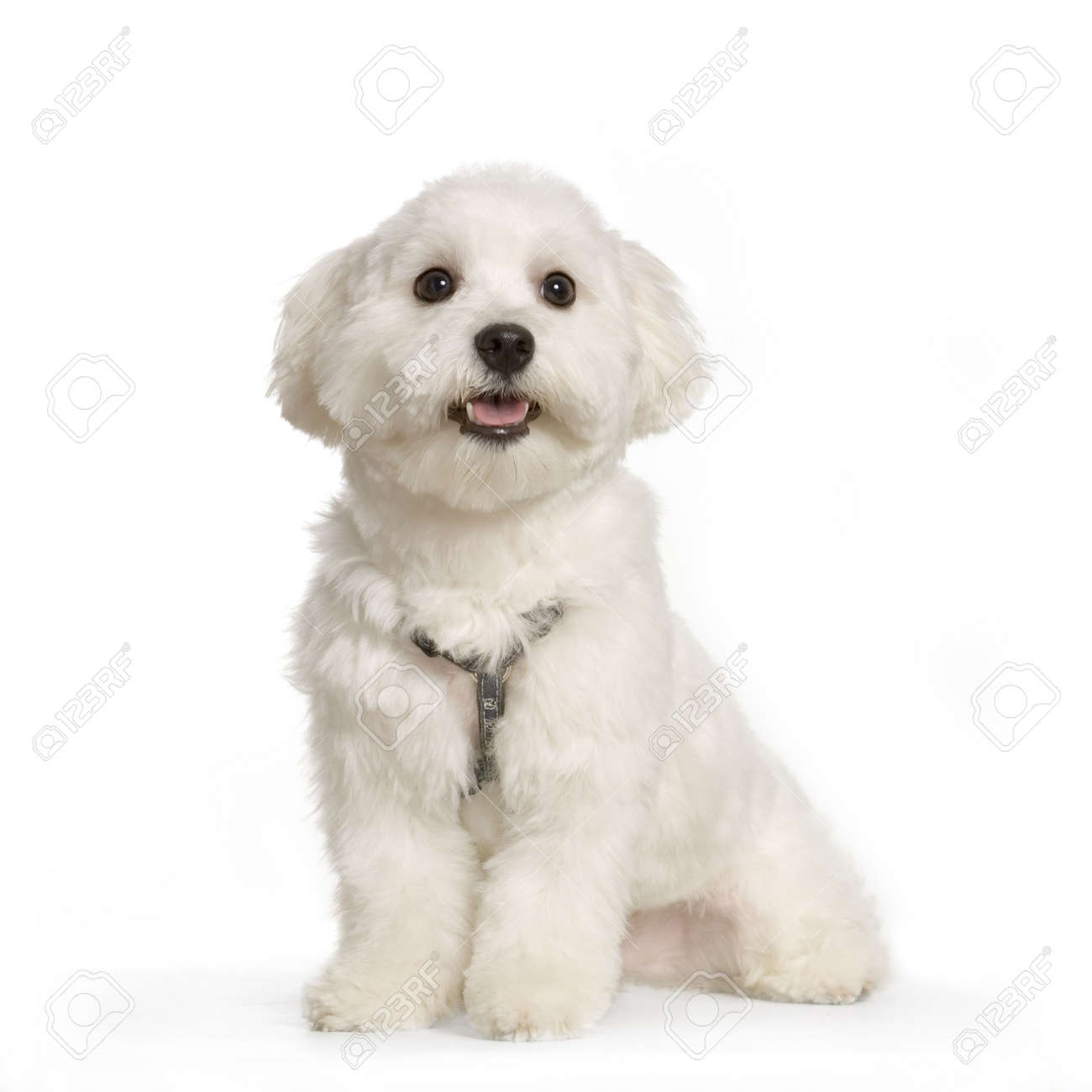 maltese dog sitting in front of white background Stock Photo - 555579