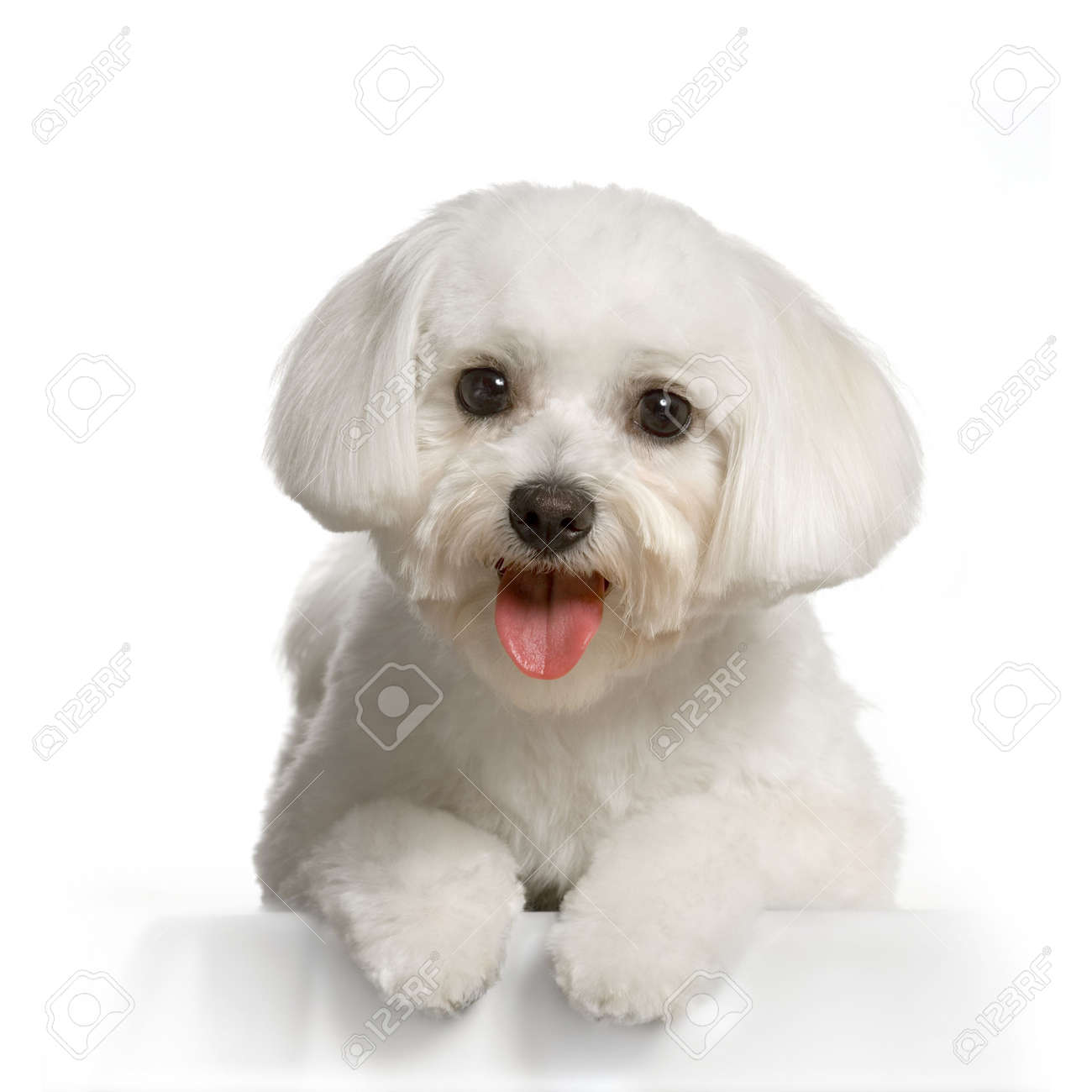 maltese dog lying in front of white Stock Photo - 555567
