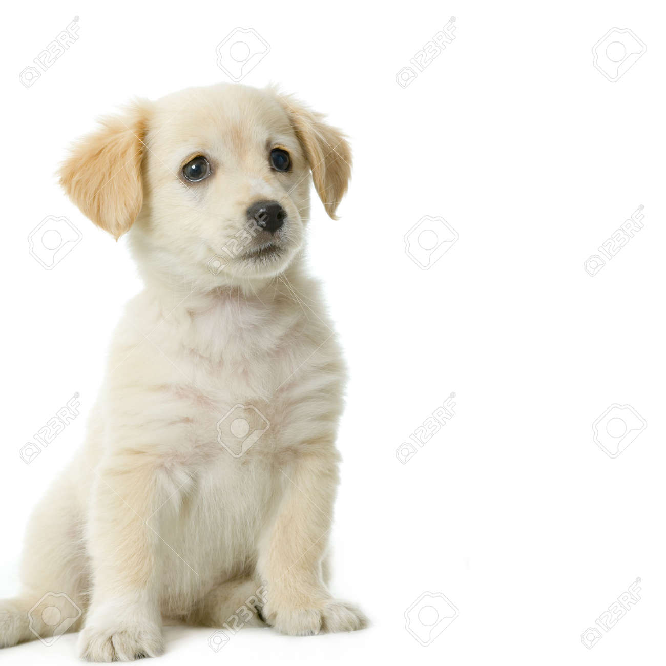 Puppy  Labrador retriever cream in front of white background and facing the camera Stock Photo - 606182