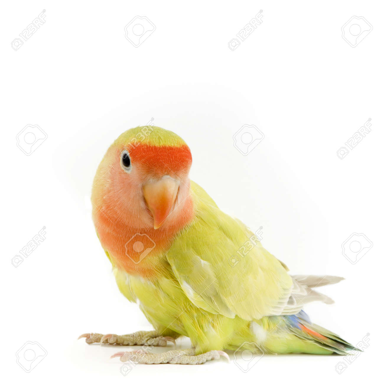 love bird in front of a white background Stock Photo - 617577