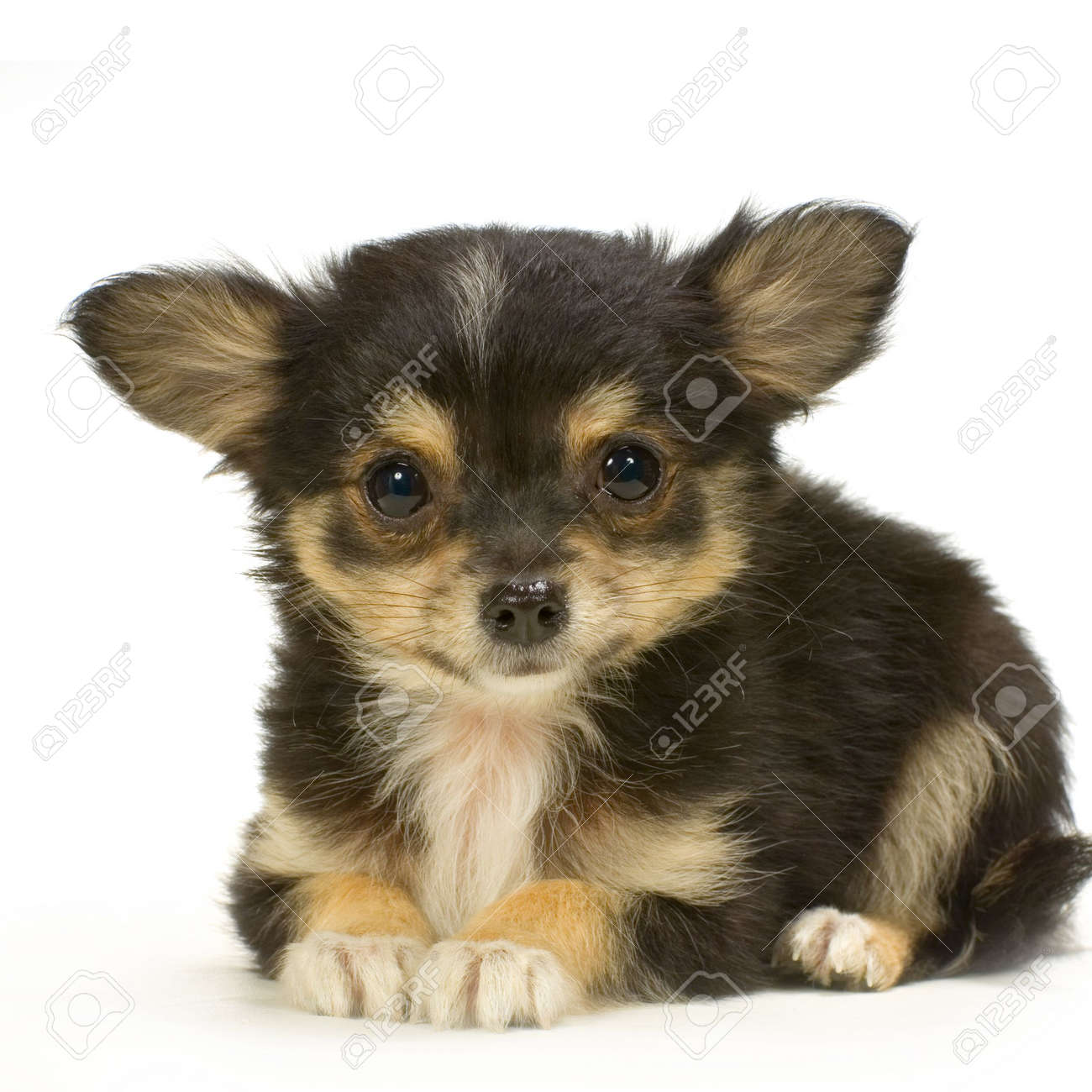 Long Haired Chihuahua Puppies Galhairs