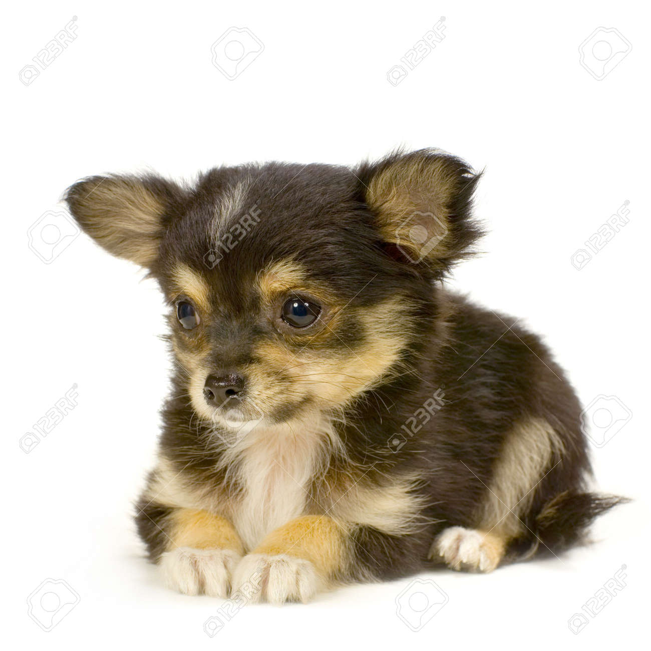Long Haired Chihuahua Puppy Lying In Front Of White Background
