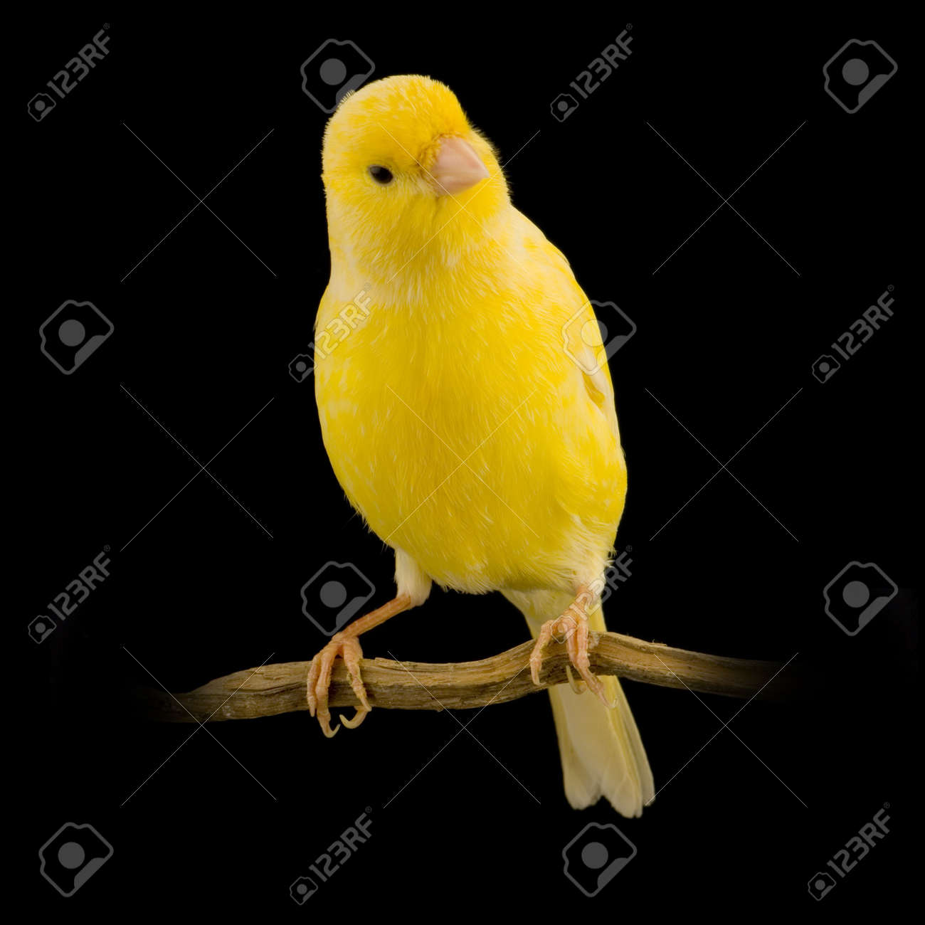yellow canary on its perch in front of a black background - 719073