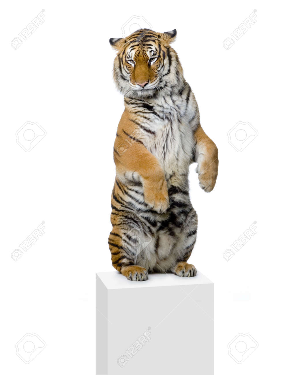 Tiger standing up lying down in front of a white background. All my pictures are taken in a photo studio Stock Photo - 757500