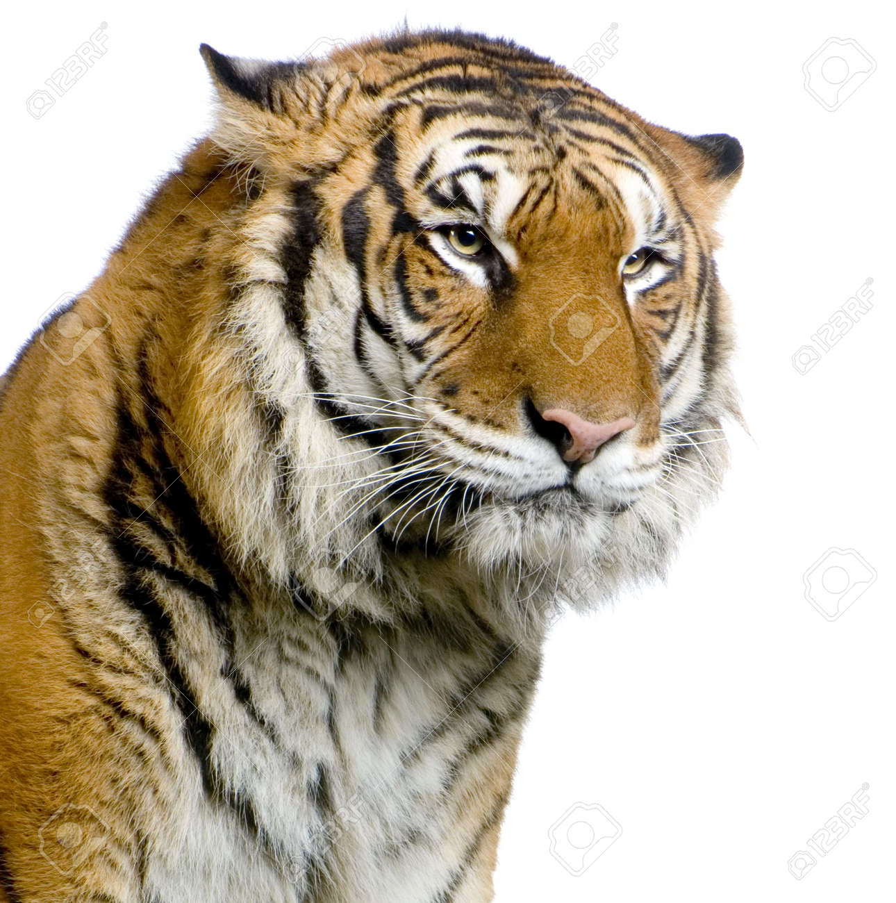 close up on a tiger u0027s face in front of a white background all