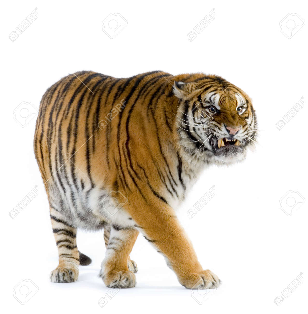roaring tiger stock photos royalty free roaring tiger images and