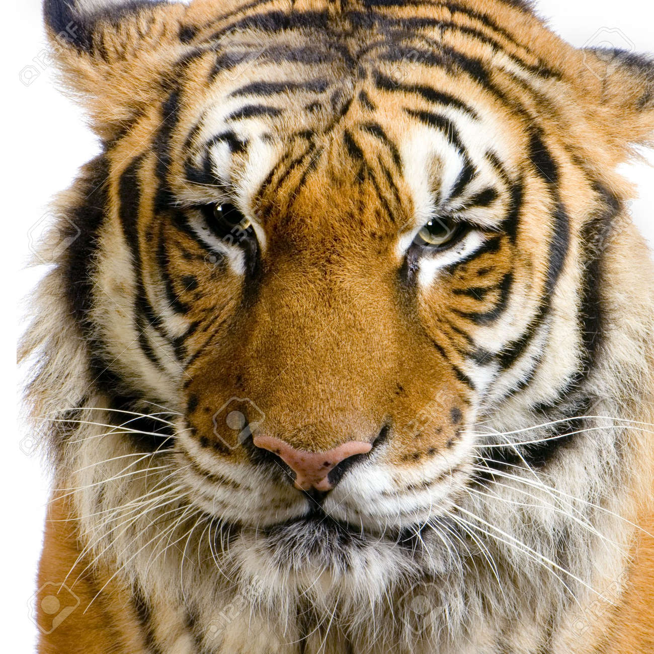 close up on a tiger s face in front of a white background all
