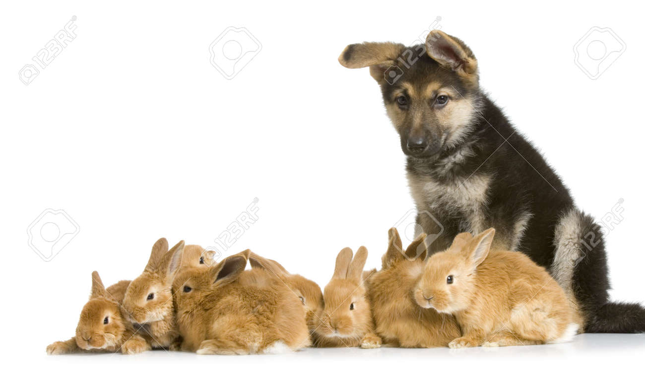 german shepherd puppy garding group of bunnies in front of a white background Stock Photo - 854548