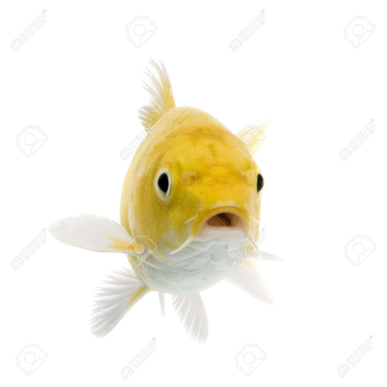 Ko� - YAMABUKI OGON swimming in front of a white background Stock Photo - 872053