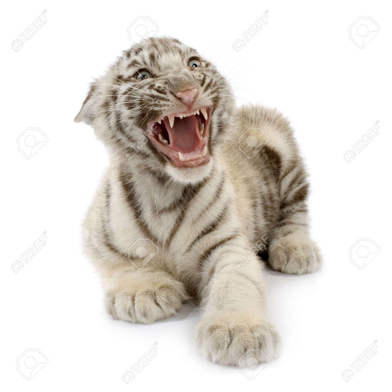 White Tiger cub (3 months) in front of a white background. Stock Photo - 926094