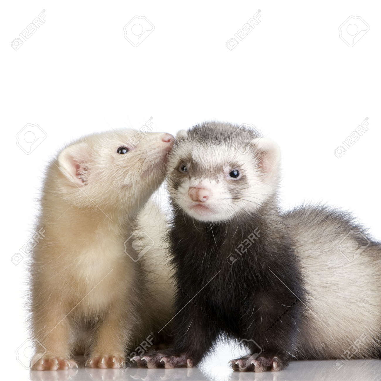 two Ferrets kits (10 weeks) in front of a white background Stock Photo - 989254