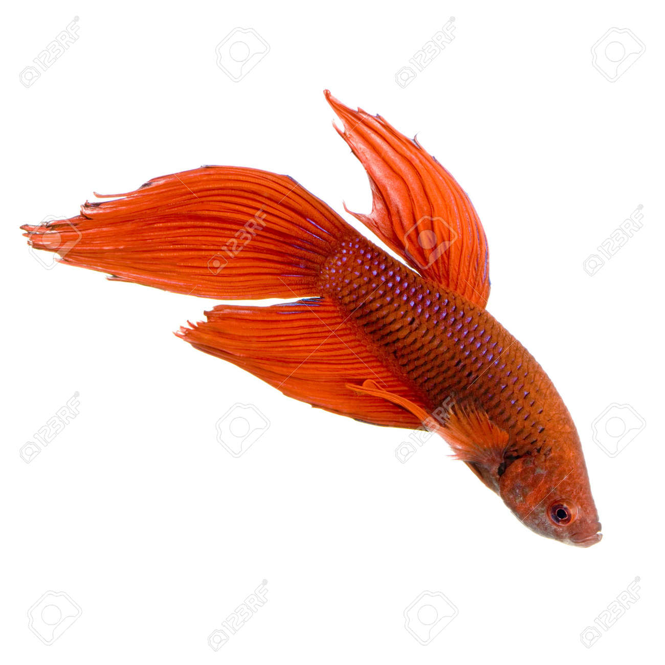 shot of a red Siamese fighting fish under water in front of a white background Stock Photo - 1124837