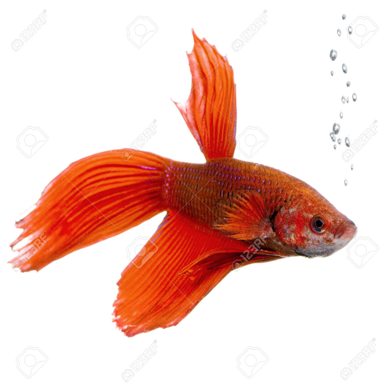 shot of a red Siamese fighting fish under water in front of a white background Stock Photo - 1124841