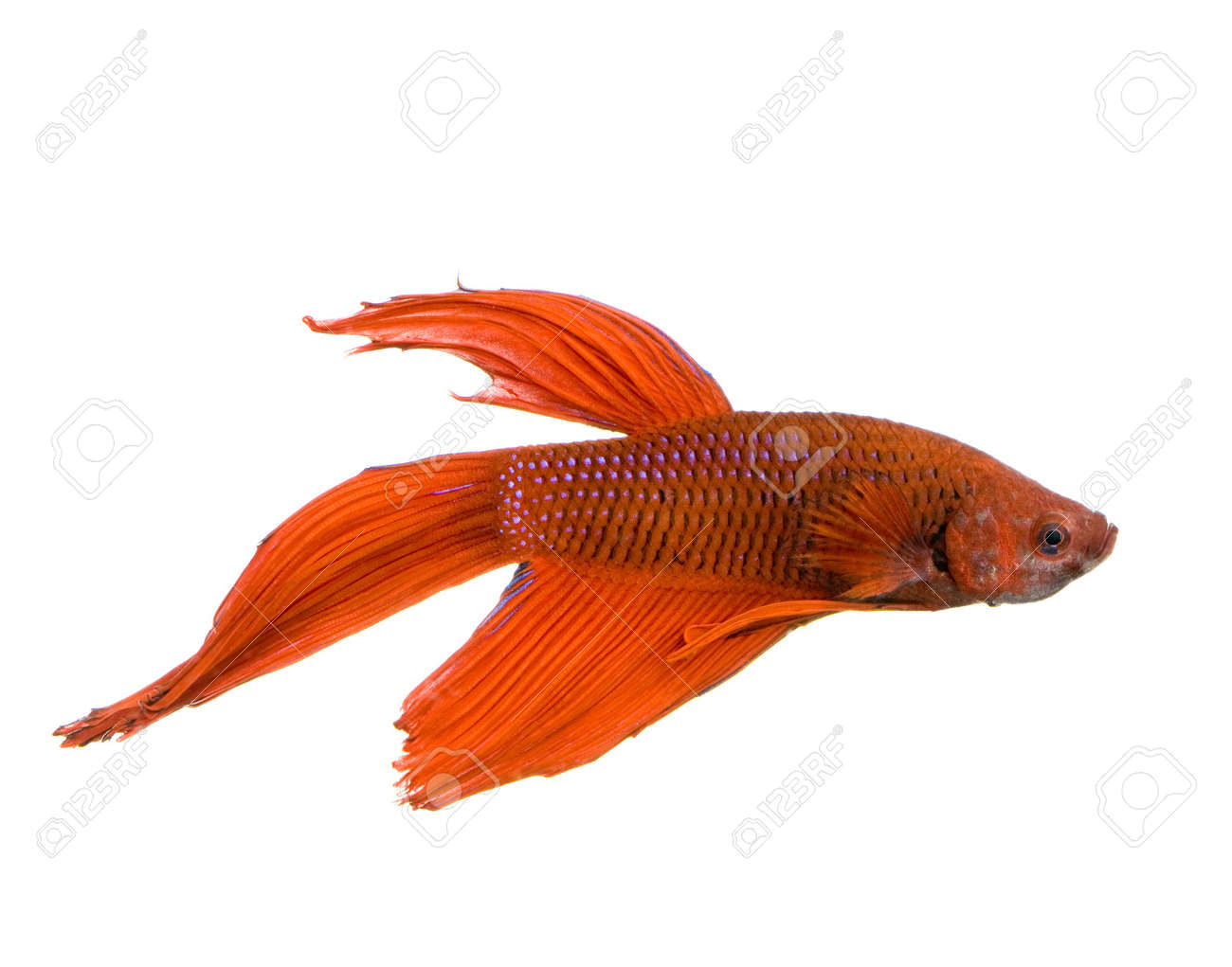 shot of a red Siamese fighting fish under water in front of a white background Stock Photo - 1132228