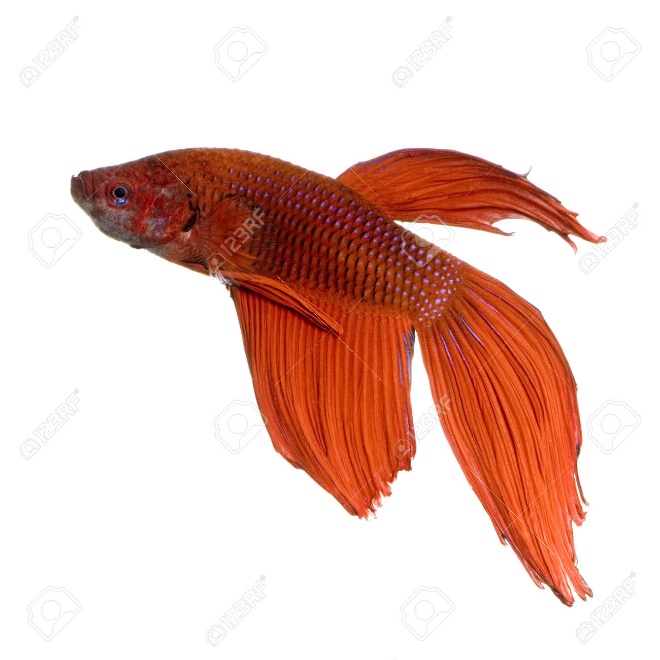 shot of a red Siamese fighting fish under water in front of a white background Stock Photo - 1132229