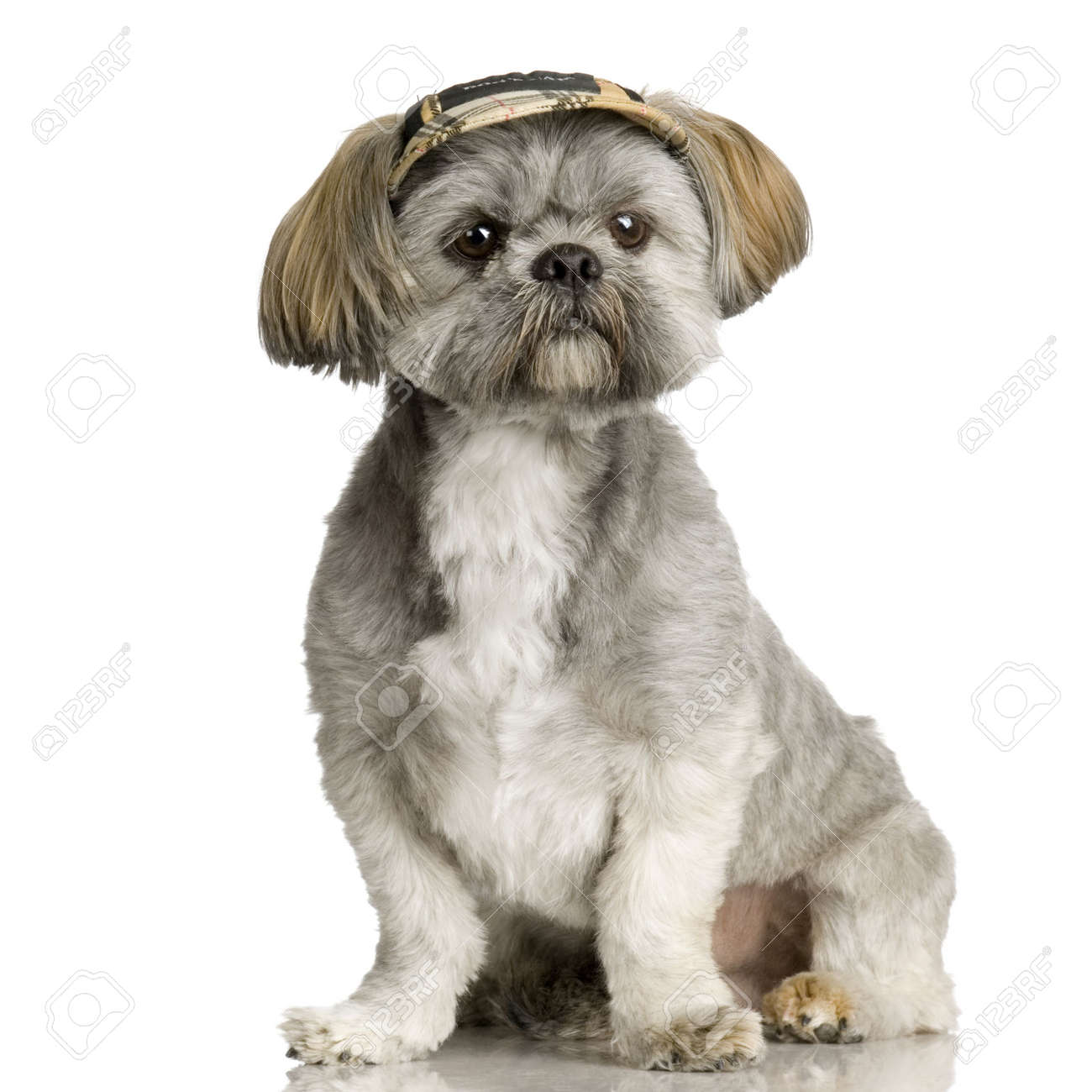 Shih Tzu in front of white background and facing the camera Stock Photo - 1158709