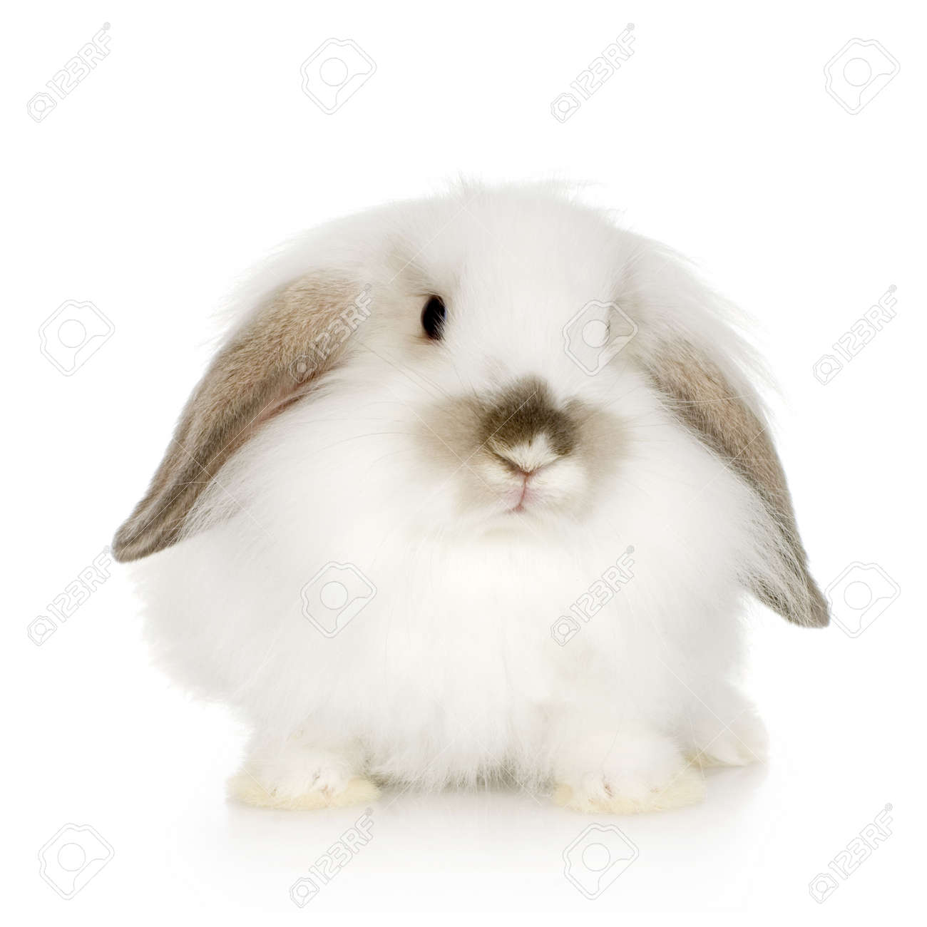 close-up on a white Lion headed lop rabbit in front of a white background and looking at the camera Stock Photo - 1288925