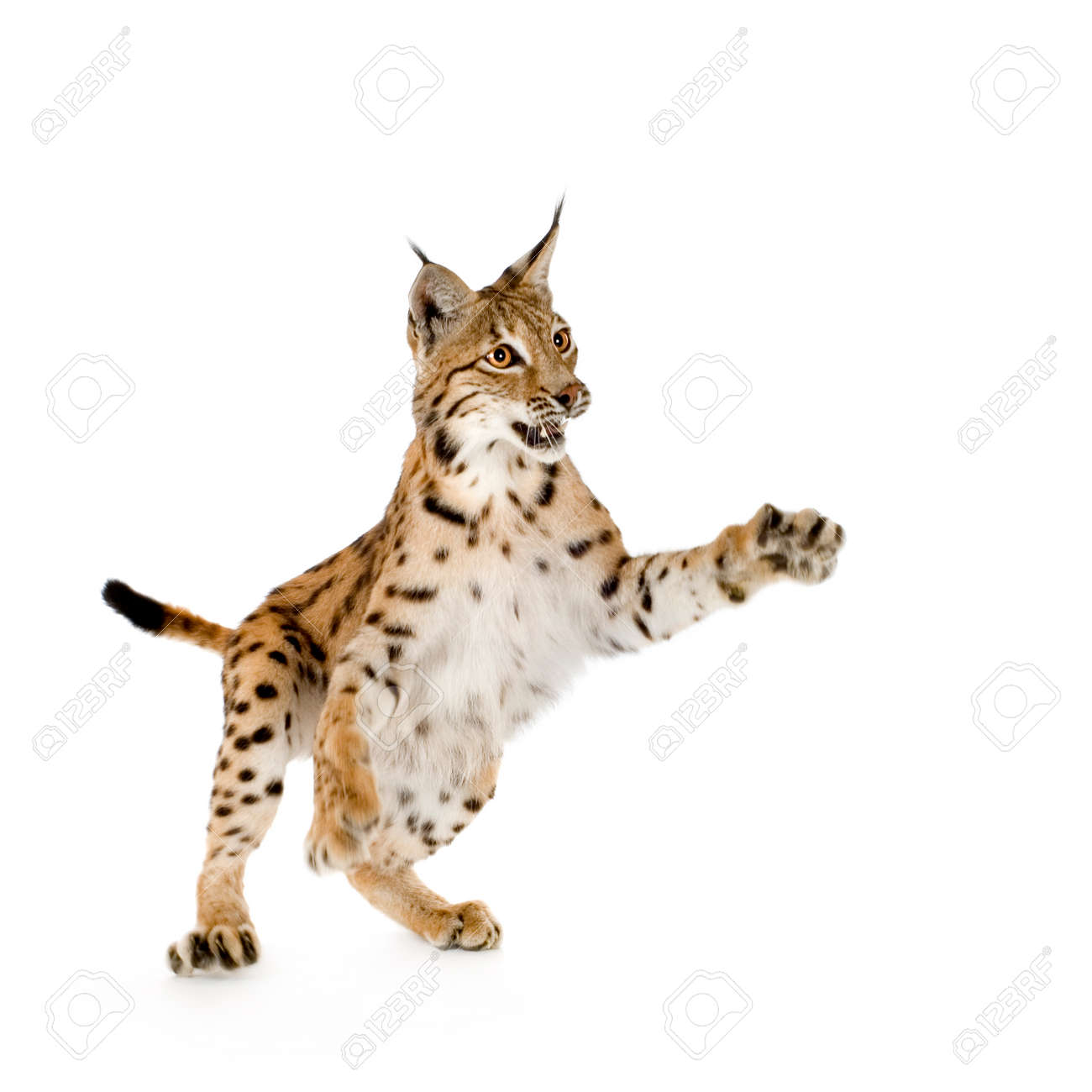 Lynx in front of a white background Stock Photo - 1367189