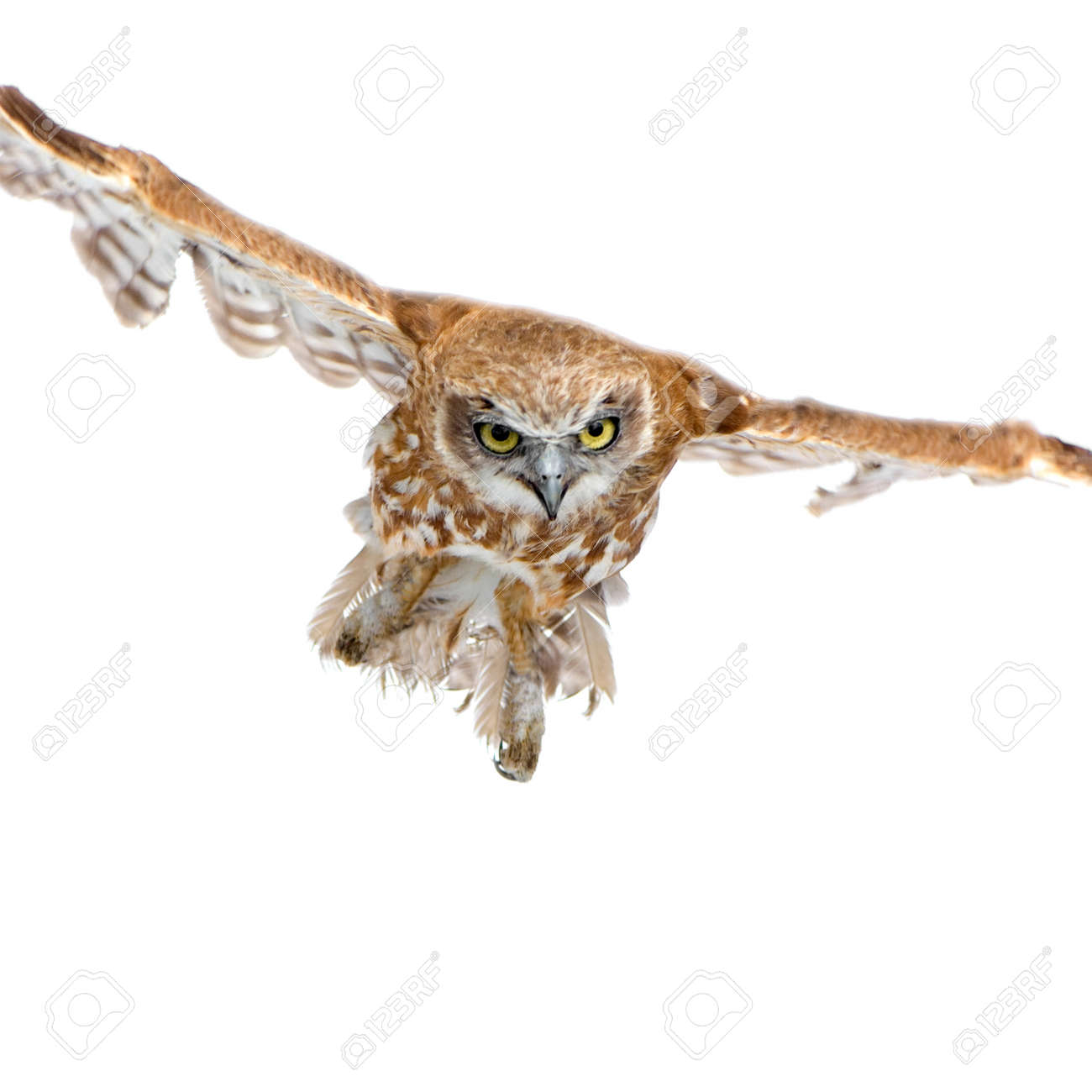 New Zealand owl (3 years) in front of a white background - 1446918