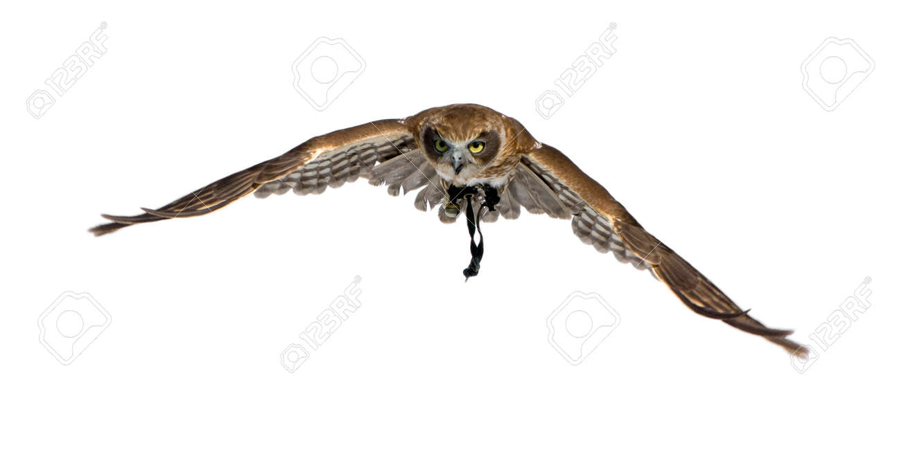 New Zealand owl (3 years) in front of a white background Stock Photo - 1446921