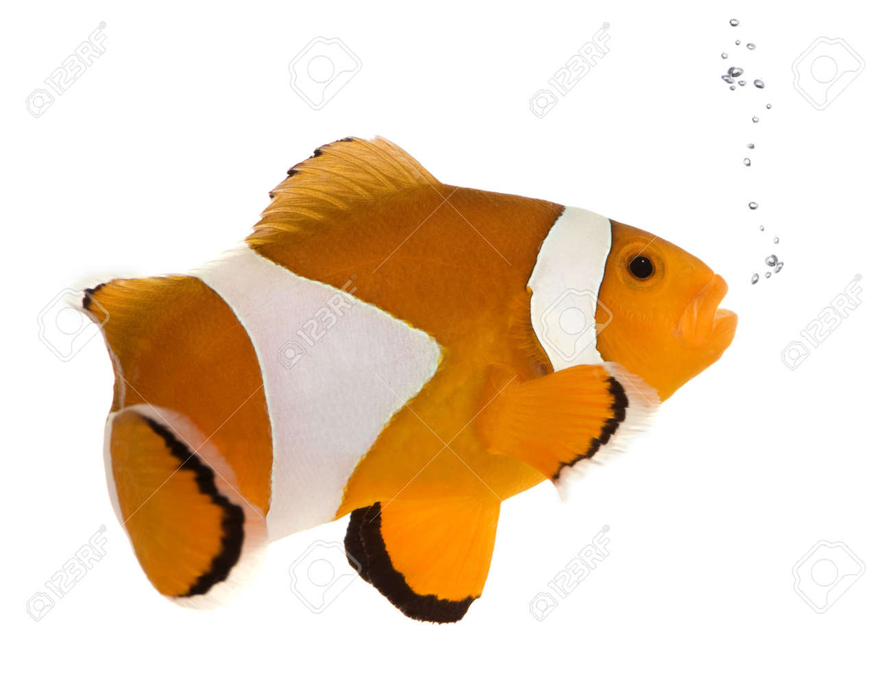 Clownfish in front of a white background Stock Photo - 2111775