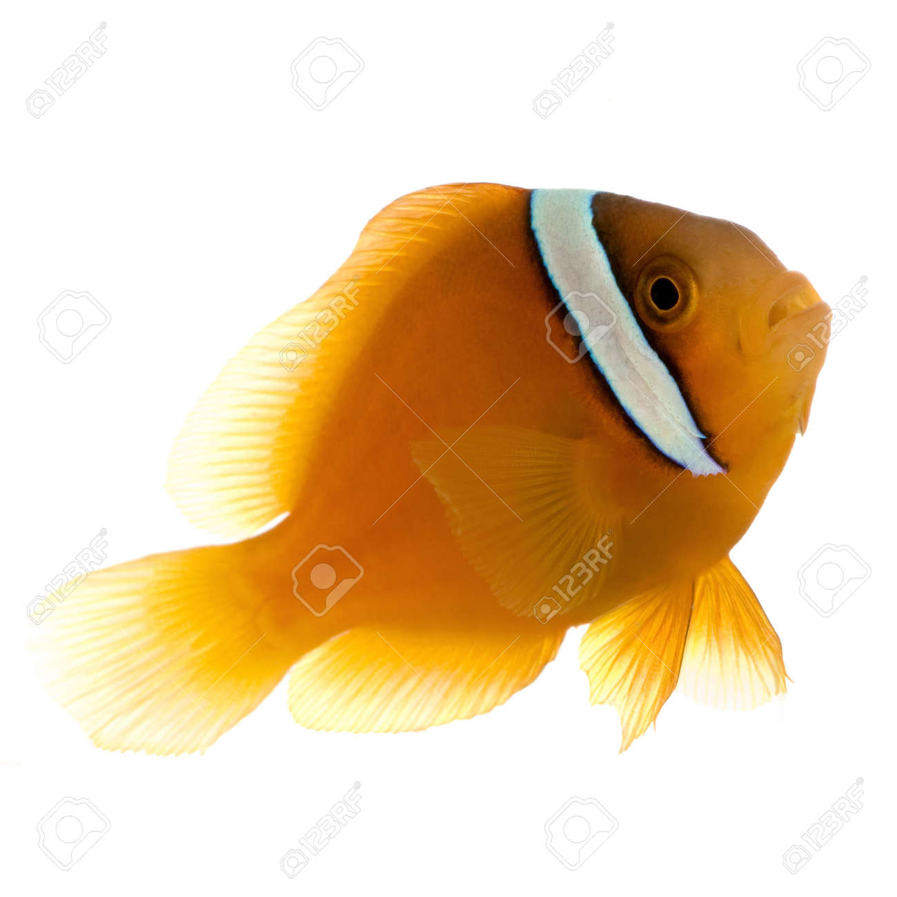 Saddle anemonefish - Amphiprion ephippium in front of a white background Stock Photo - 2113017