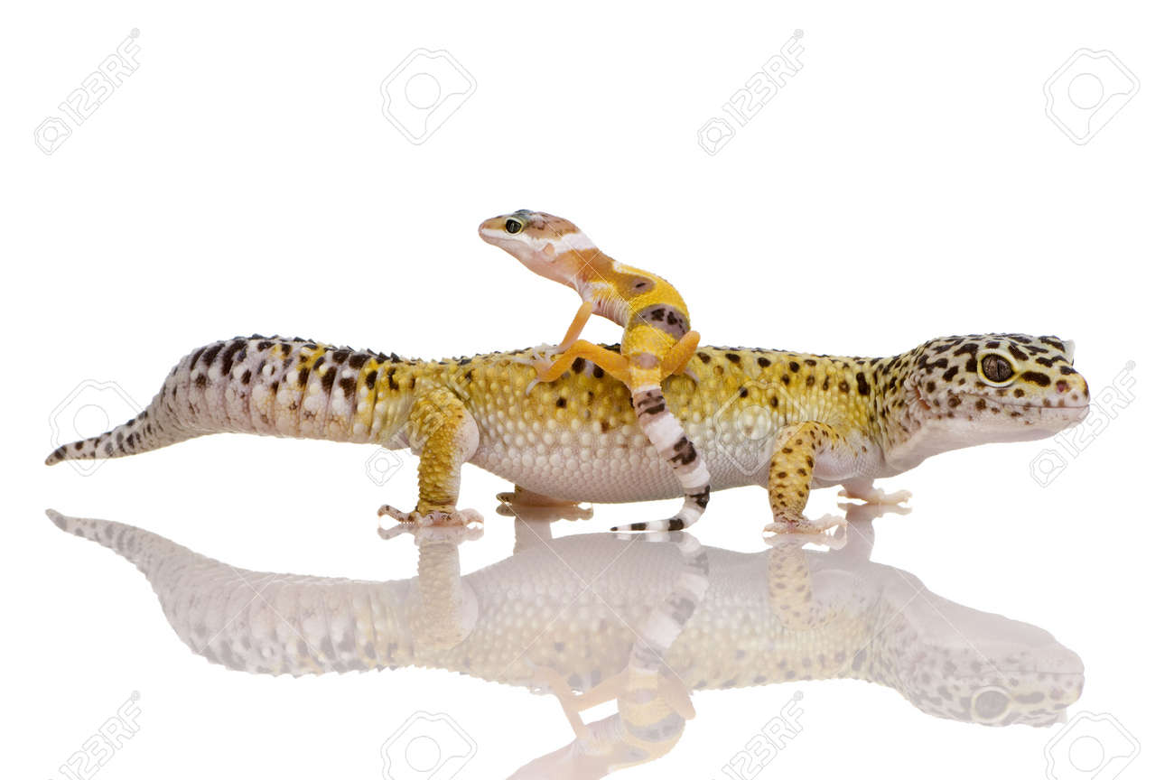 Leopard gecko in front of a white background Stock Photo - 2113102