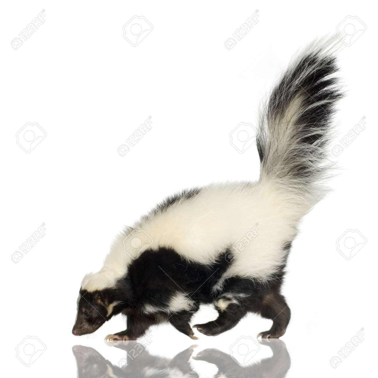 striped skunk mephitis mephitis in front of a white background