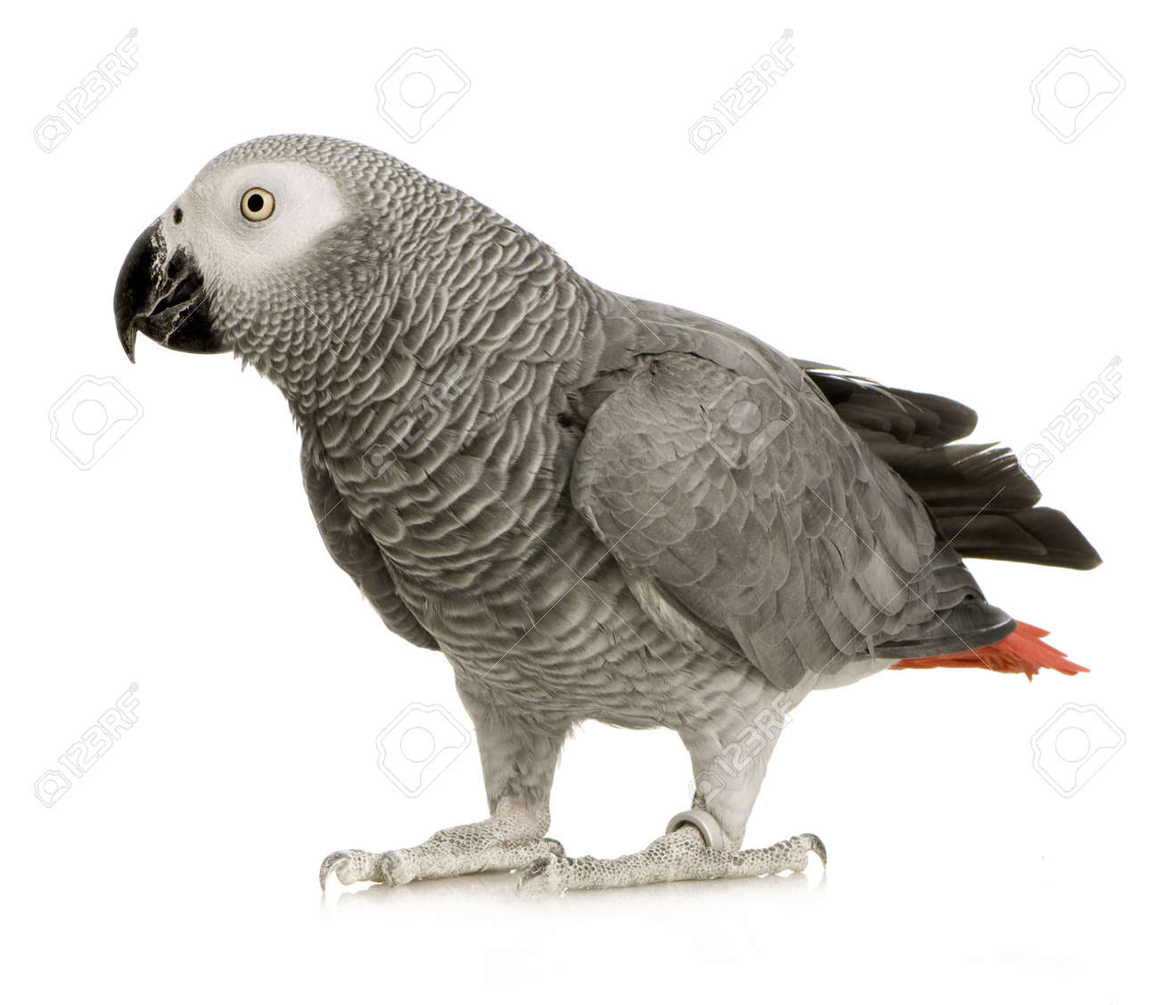 African Grey Parrot - Psittacus erithacus in front of a white background Stock Photo - 2408161