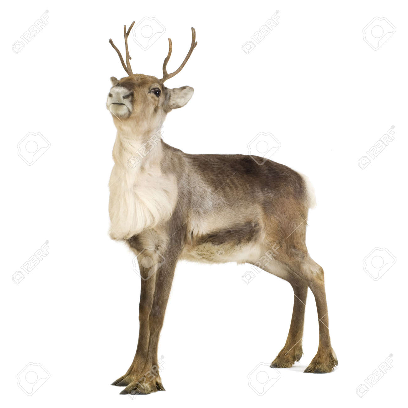 reindeer 2 years in front of a white background stock photo 2633188 - Reindeer Images 2