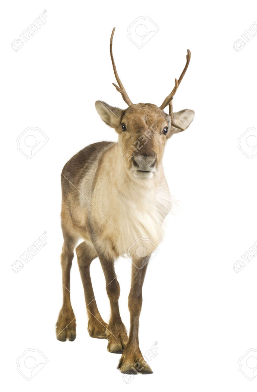 reindeer 2 years in front of a white background stock photo