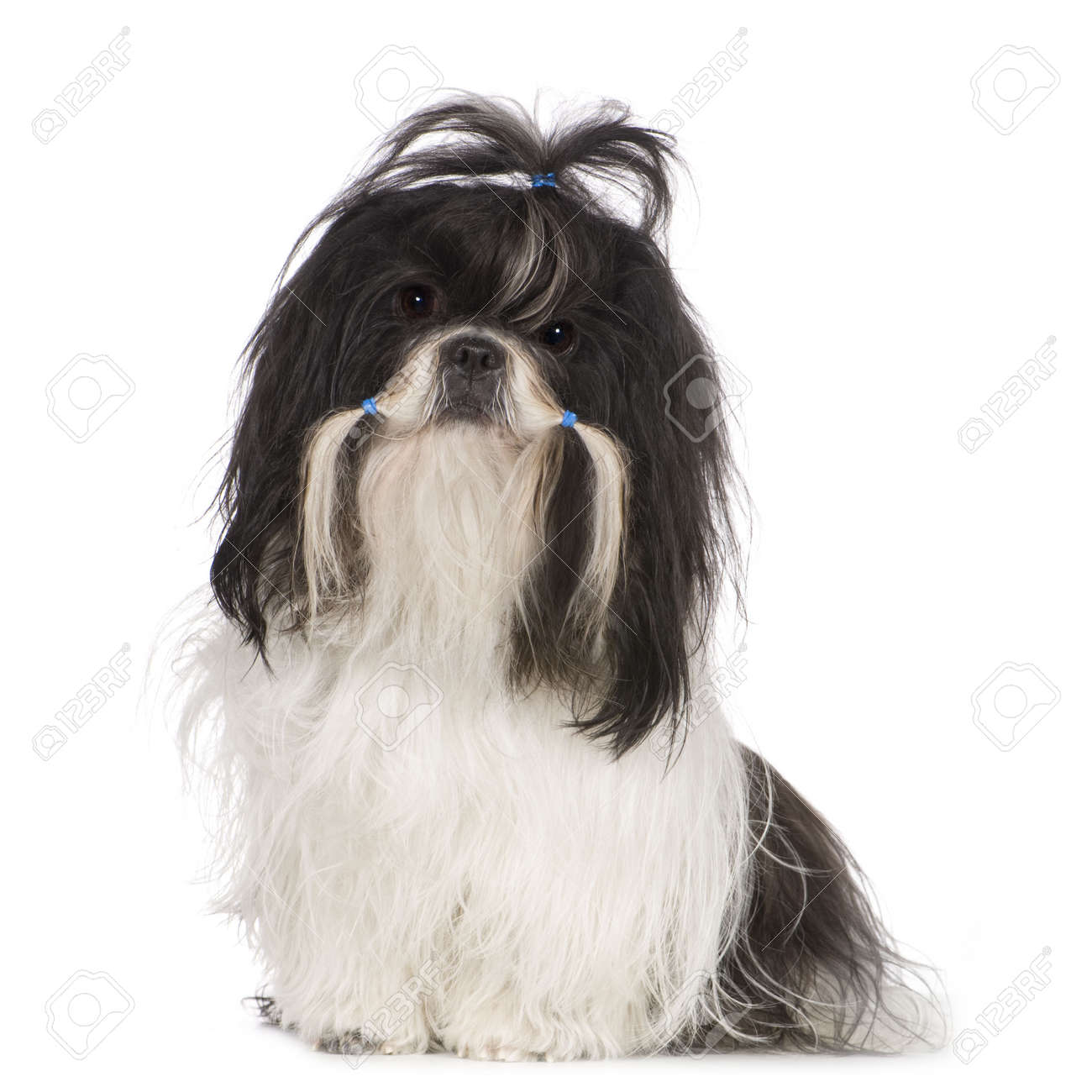 Shih Tzu (15 months) in front of a white background Stock Photo - 2776291