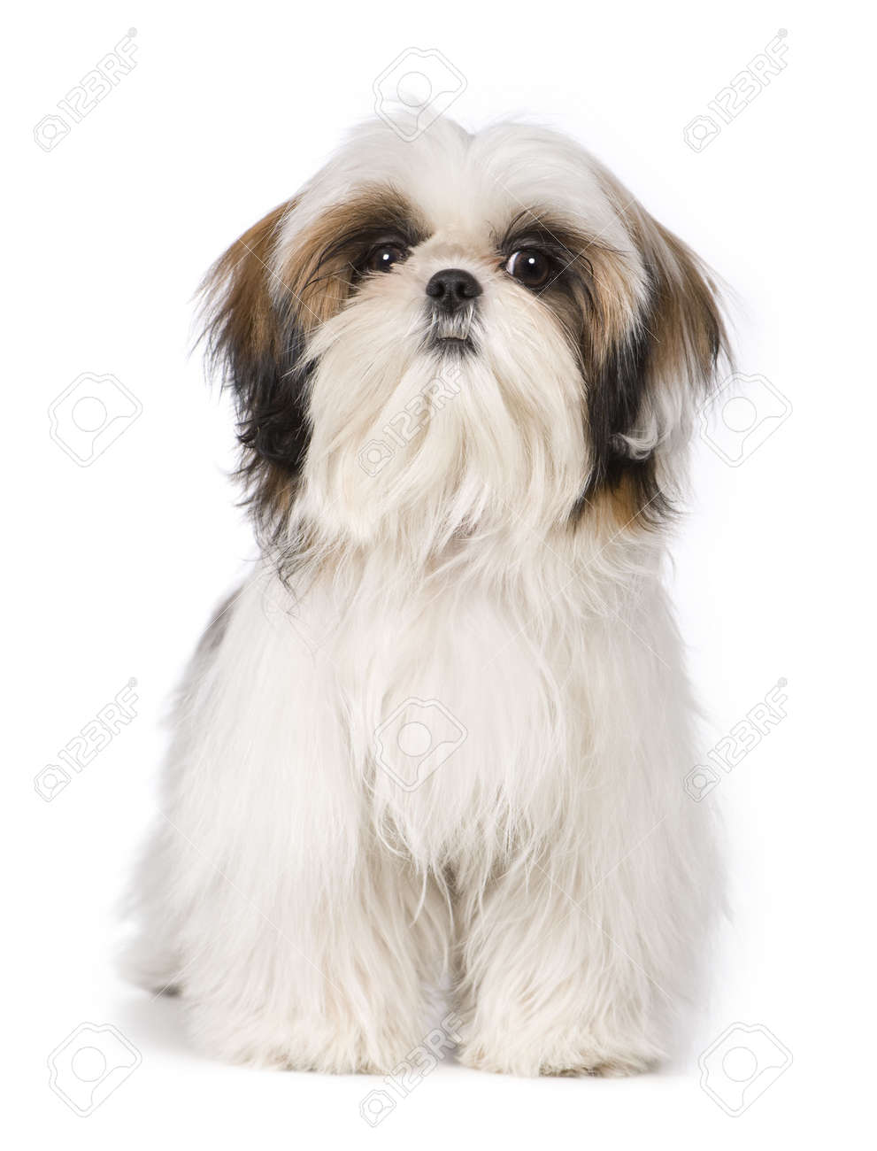 Shih Tzu in front of a white background Stock Photo - 2935408