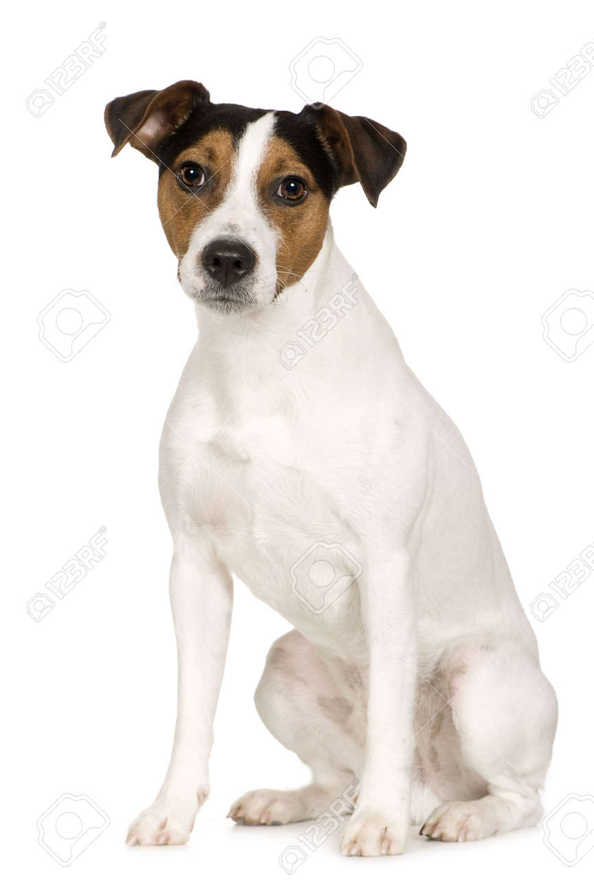 Parson Russell Terrier (2 years) in front of a white background - 2935265