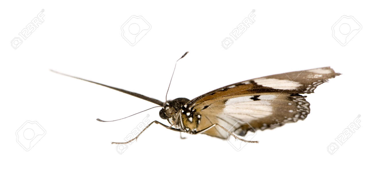 Butterfly in front of a white background Stock Photo - 3055346