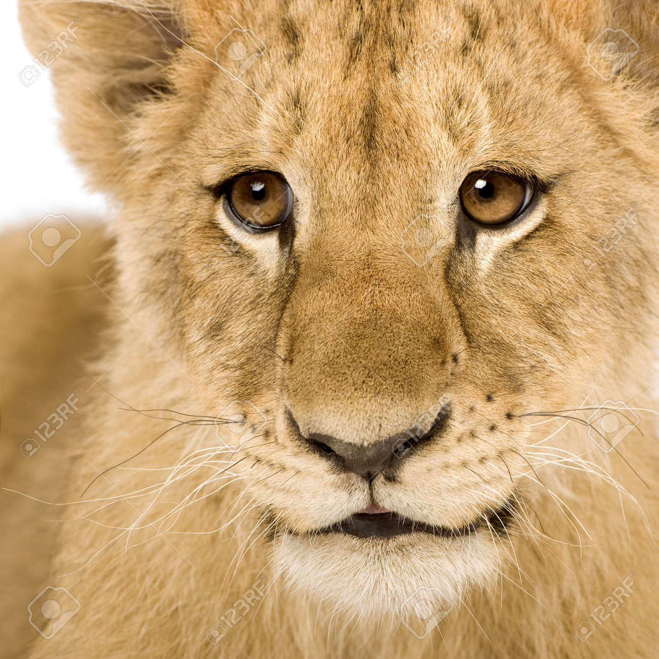 Lion Cub (4 months) in front of a white background Stock Photo - 3358022