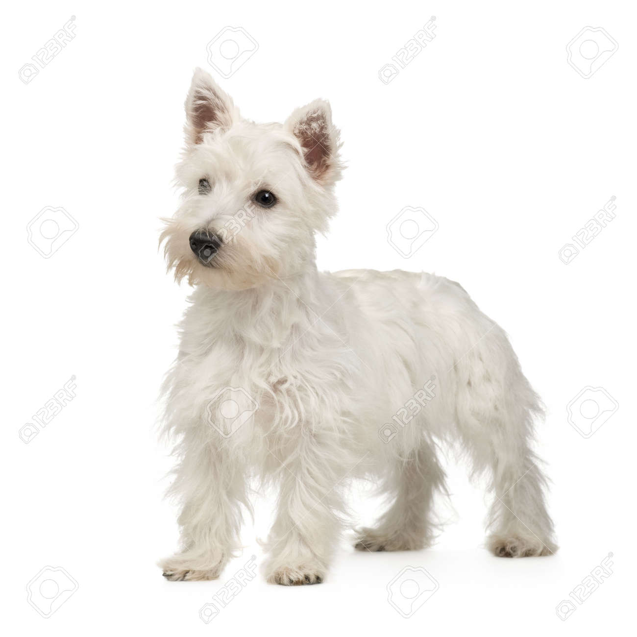 http://previews.123rf.com/images/isselee/isselee0807/isselee080700196/3356736-West-Highland-White-Terrier-5-months-in-front-of-a-white-background-Stock-Photo.jpg