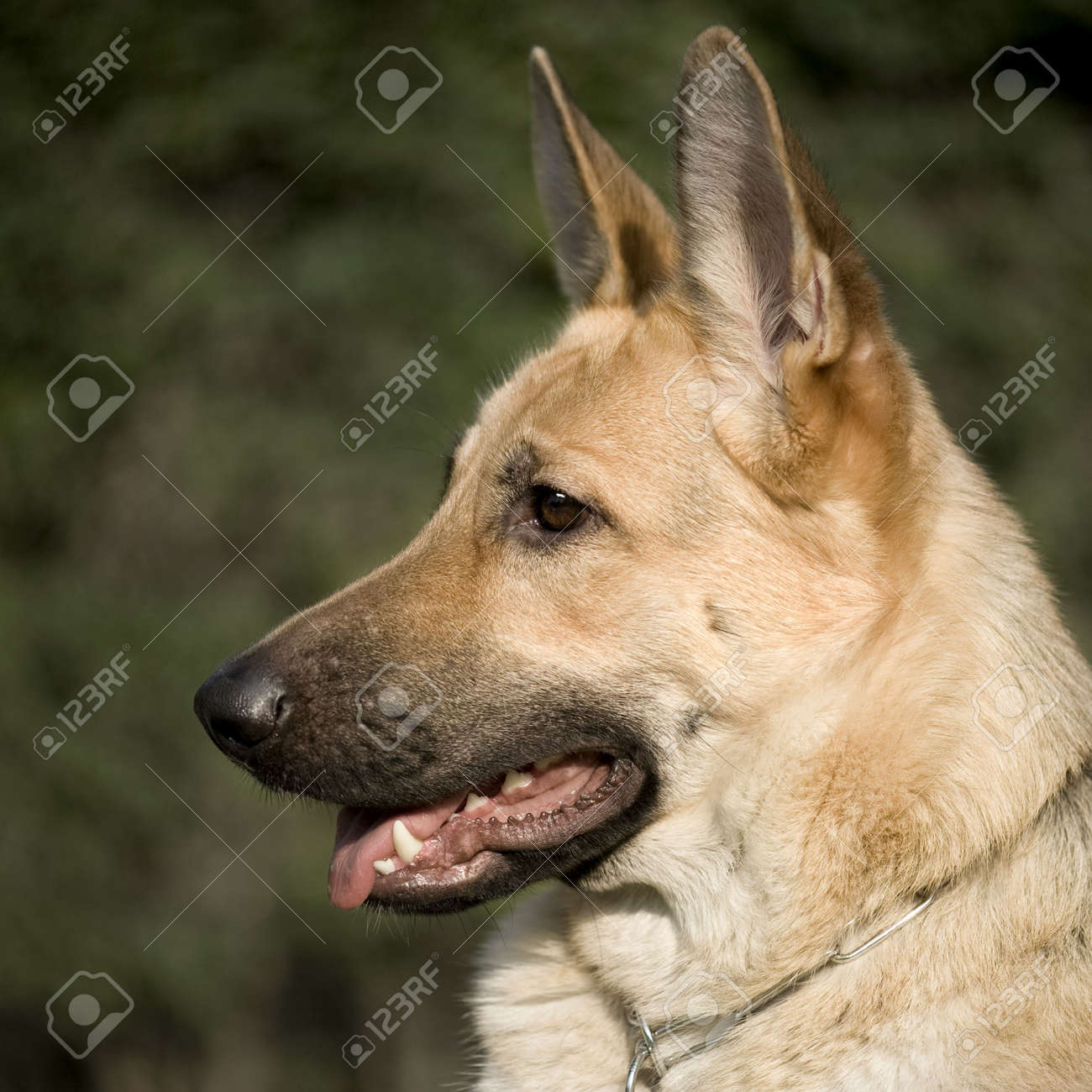 german shepherd in front of a natural green background Stock Photo - 3430370