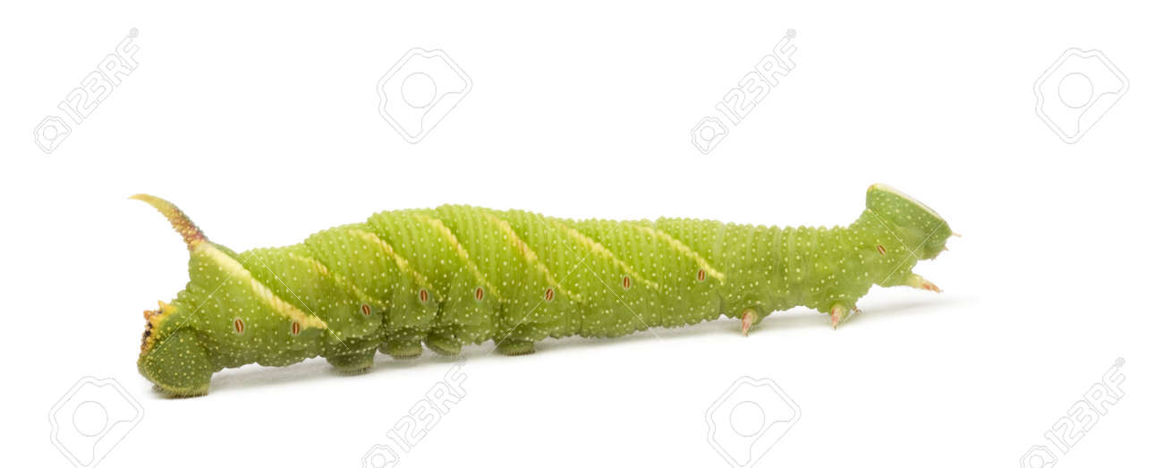 Lime Hawk-moth caterpillar - Mimas tiliae in front of a white background Stock Photo - 3430093