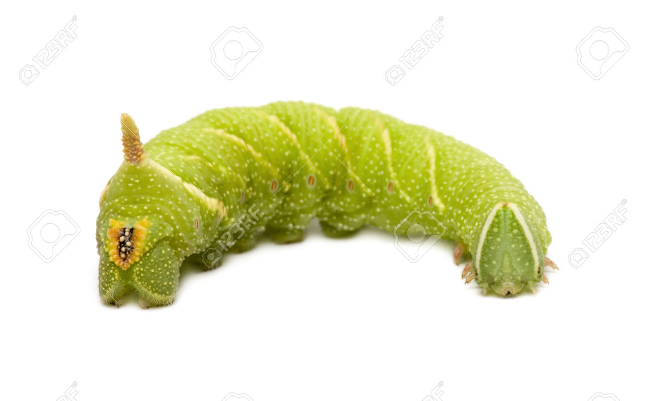 Lime Hawk-moth caterpillar - Mimas tiliae in front of a white background Stock Photo - 3652461