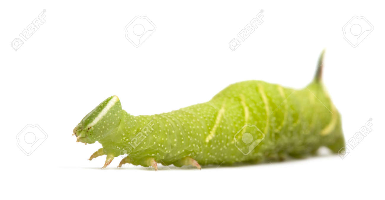 Lime Hawk-moth caterpillar - Mimas tiliae in front of a white background Stock Photo - 3652475