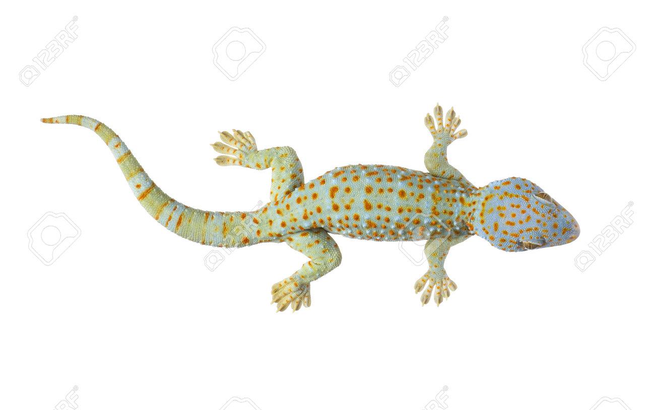 tokay gecko gekko gecko in front of a white background stock photo