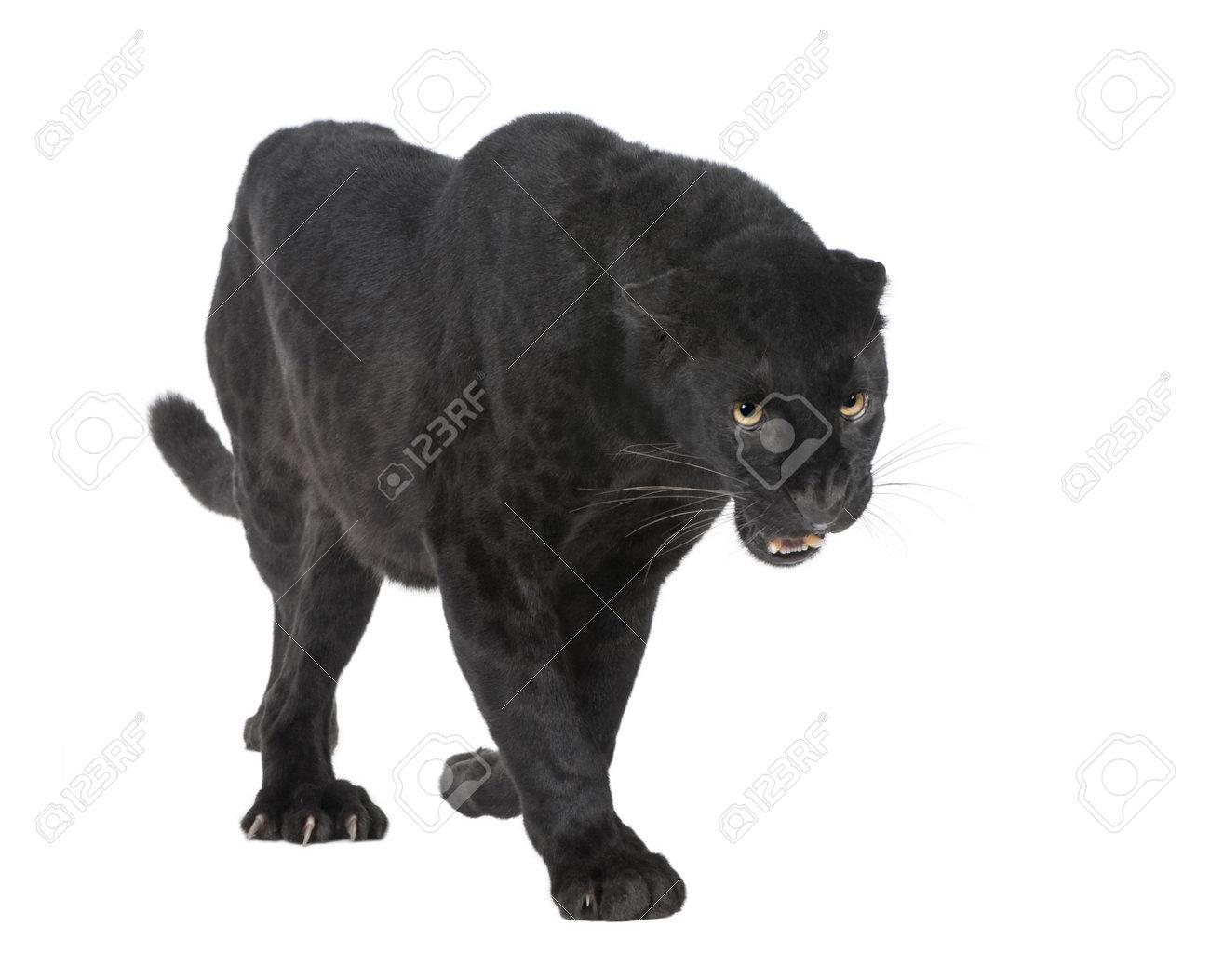 Black Panther Background Black Panthers Black Leopard