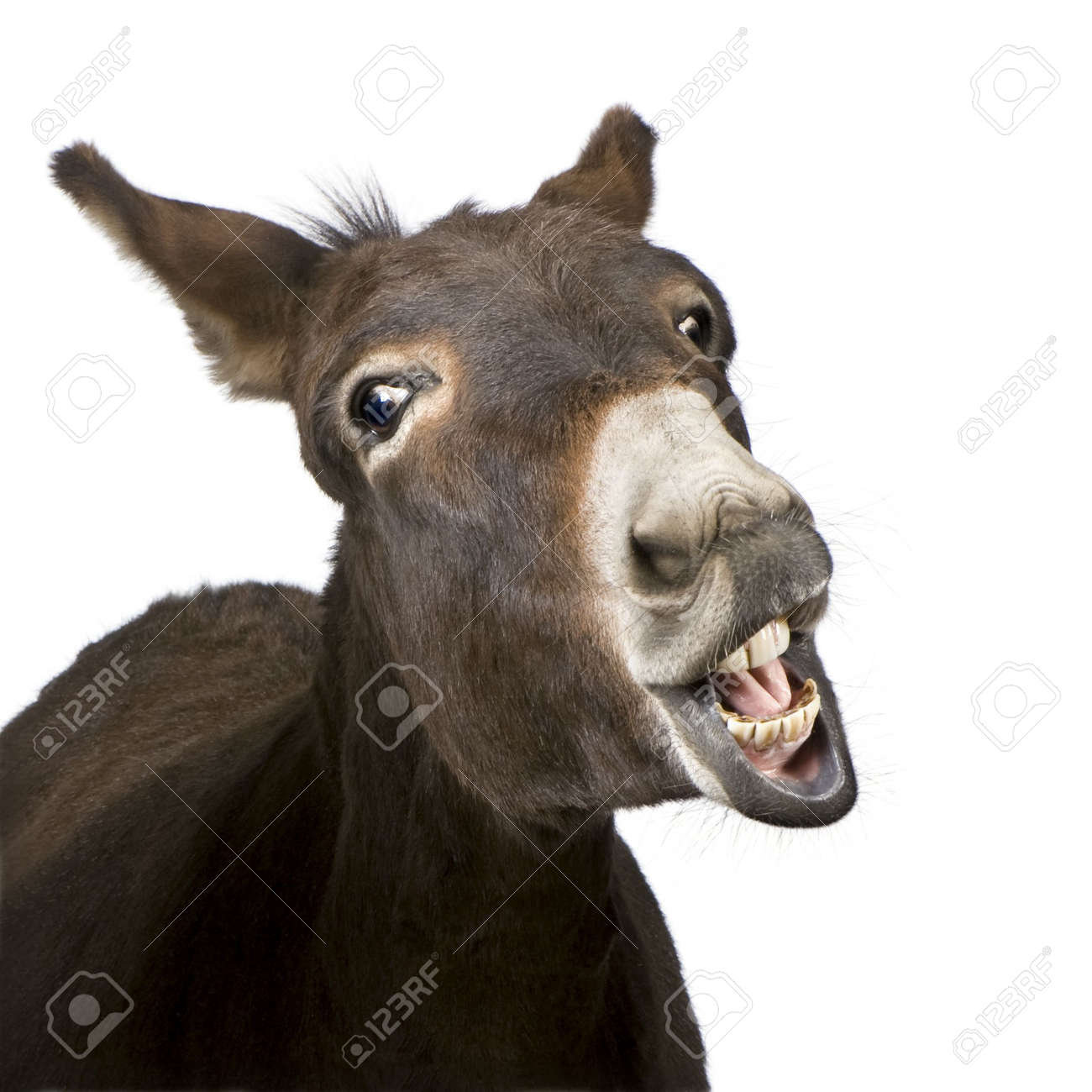 donkey (4 years) in front of a white background Standard-Bild - 3838352