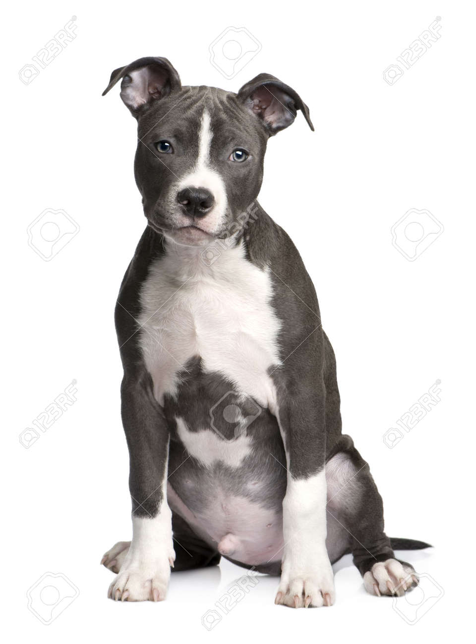American Staffordshire terrier puppy (3 months) in front of a white  background Stock Photo