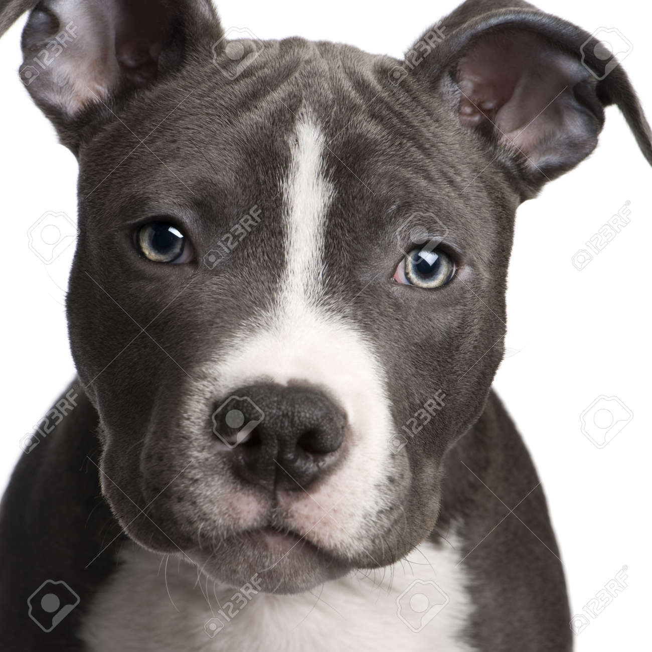 american staffordshire terrier puppy 3 months in front of a